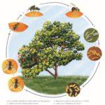 cycle mouche des fruits